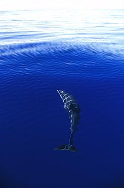 Atlantic Spotted Dolphin (Stenella frontalis). Azores, Portugal.
