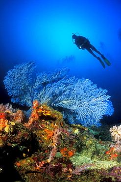 Rare Blue Sea Fan (Acanthogorgia sp.) and diver. Gorontalo, Sulawesi, Indonesia