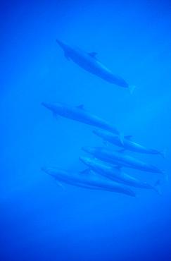 False Killer Whales (Pseudorca crassidens). Azores, Portugal, Atlantic.   (rr)