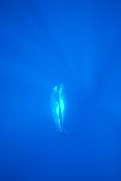 Pygmy killer whale (Feresa attenuata) mating pair. Hawaii.