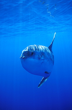 Oceanic Sun Fish (Moon Fish or Mola Mola). Azores, Portugal, Atlantic