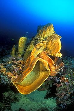 Orange Petrosid Sponge, (Petrosia sp.). Gorontalo, Sulawesi, Indonesia