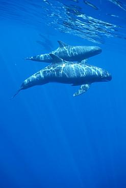 Pygmy killer whale (Feresa attenuata) travelling pod in dappled light near to surface. Hawaii.