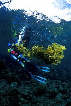 Sargassum Sea Weed and diver. Gorontalo, Sulawesi, Indonesia