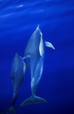Short-beaked Common Dolphins (Delphinus delphis) mother and calf, bow-riding and surfacing. Azores, Portugal, Atlantic