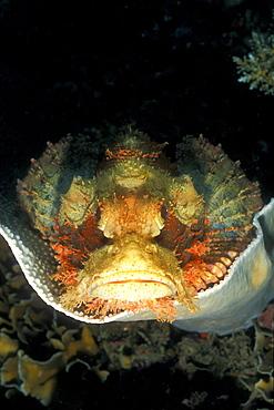 Tasseled Scorpionfish (Scorpaenopsis oxycephala). Gorontalo, Sulawesi, Indonesia