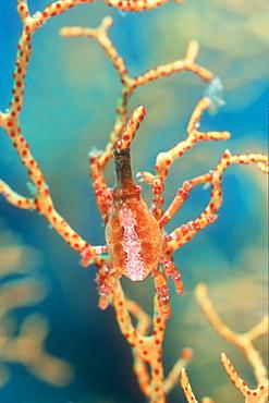 Xeno or Black Coral Crab, (Xenocarcinus conicus) on Sea Fan. Lembeh Strait, Sulawesi, Indonesia