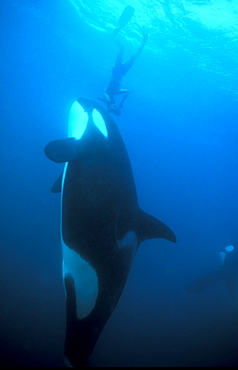 Orca (Orcinus orca) and diver. Akaroa, New Zealand.