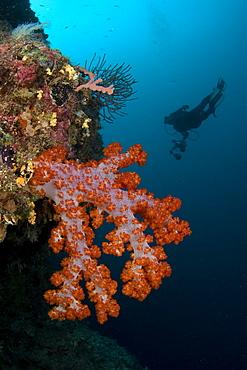 Soft Coral & diver. Sipadan, Malaysia