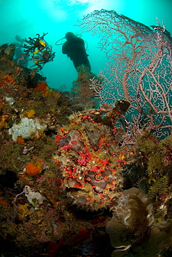 Giant Frogfish, A.commersoni & diver. Komodo, Indonesia