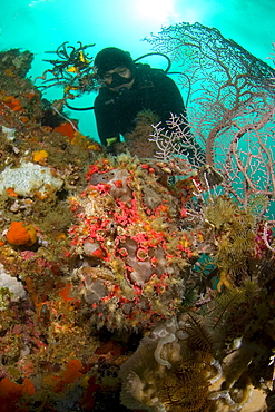 Giant Frogfish & diver. Komodo, Indonesia