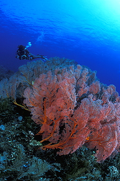 Gorgonian Fan Coral field & Diver. Bali, Indonesia.