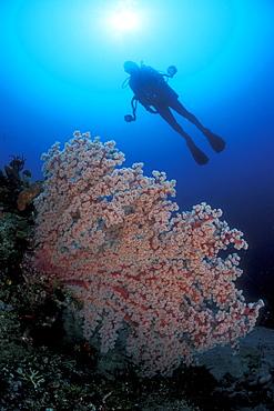 Gorgonian Fan Coral & diver. Bali, Indonesia