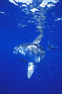 Mola Mola or Oceanic Sunfish & snorkeler. Azores, Portugal