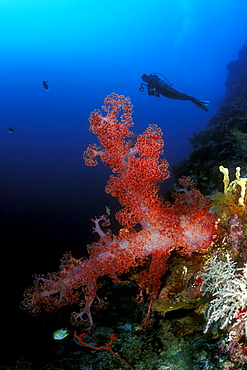 Soft Coral & diver. Sipadan has some of the best dropoffs in the world. Subsequently, here grows some of the prettiest corals (hard & soft) in the Pacific. Sipadan, Malaysia