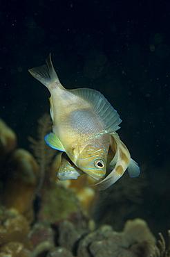 Mating Hamlet fish. Caymans. - 1022-25