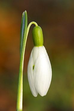 Snowdrop (Galanthus nivalis), UK
