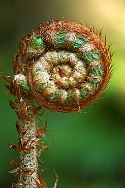 Portrait of Lady fern frond (Athyrium filix-femina), UK