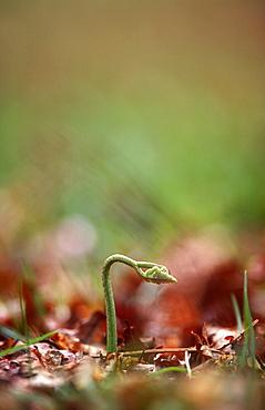Bracken frond (Pteridium aquilinum) emerging in spring, UK