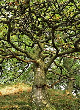 Sessile oak tree (Quercus petraea), UK