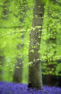 Beech leaves (Fagus sylvatica) in spring and bluebells (Hyacinthoides non-scripta)