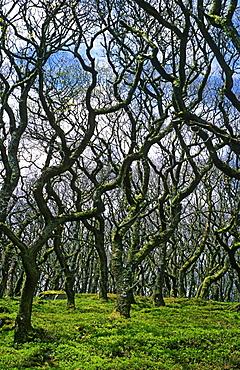 Sessile oak (Quercus petraea) woodland, UK.