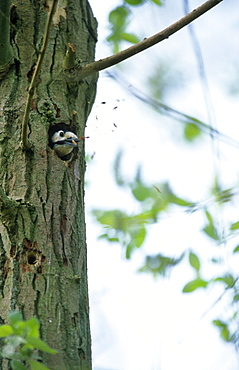Great spotted woodpecker (Dendrocopos major) excavating nest hole, UK