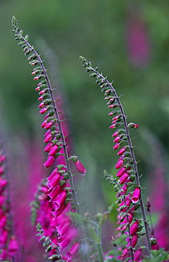 Foxgloves (Digitalis purpurea), UK