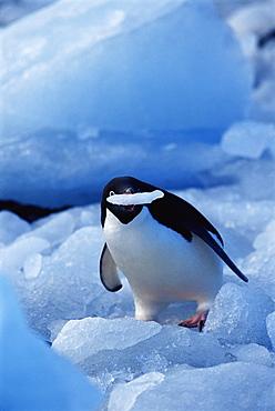 Adelie penguin (Pygoscelis adeliae) eating ice, Paulet Island, Antarctica, Southern Ocean
