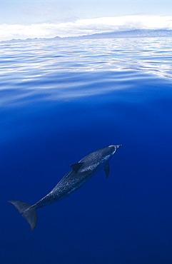 Atlantic spotted dolphin (Stenella frontalis) at surface. Azores, North Atlantic Ocean.