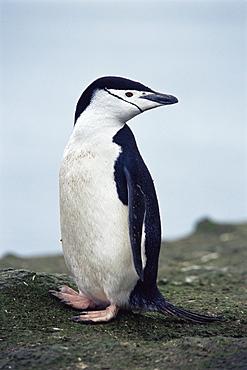 Chinstrap penguin (Pygoscelis antarctica) on rock with green algae, Hannah Point, Antarctica, Southern Ocean.