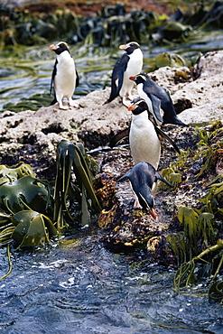 Snares crested penguins (Eudyptes robustus), Penguin with Kelp (Durvilla antarctica) Snares Island, New Zealand, Pacific Ocean.