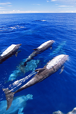 Bottlenose dolphins (Tursiops truncatus) surfacing, Cape Hoskins, West New Britain Island, Papua New Guinea, South Pacific