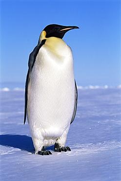 Emperor penguin (Aptenodytes forsteri) on land, Ross Sea, Antarctica, Southern Ocean
