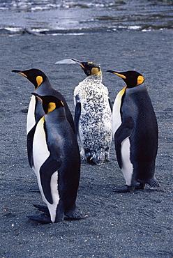 King penguin (Aptenodytes patagonicus) 'Dalmatian spotted', South Georgia, Antarctica, Southern Ocean.