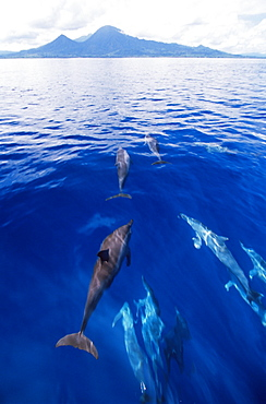 Spinner dolphins (Stenella longirostris), Kimbe Bay, West New Britain Island, Papua New Guinea, South Pacific