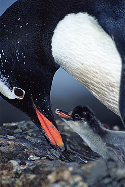 Gentoo penguin (Pygoscelis papua) feeding chick,Cuverville Island, Antarctica, Southern Ocean.