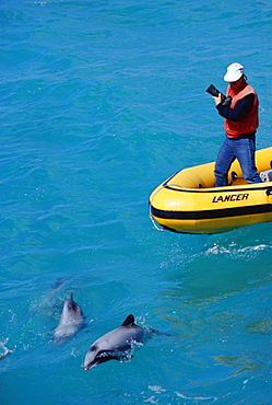 New Zealand Whale and Dolphin Trust working with Hector's dolphins (Cephalorhynchus hectori)
