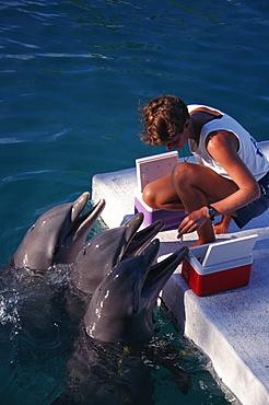 Bottlenose dolphins (Tursiops truncatus) and trainer. Enclosure near sea. Bahamas.