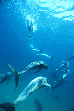 Atlantic spotted dolphins (Stenella frontalis) and snorkellers towing on a rope behind boat. Bimini, Bahamas.