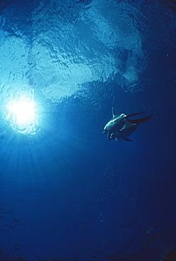Atlantic spotted dolphins (Stenella frontalis). Bimini, Bahamas.