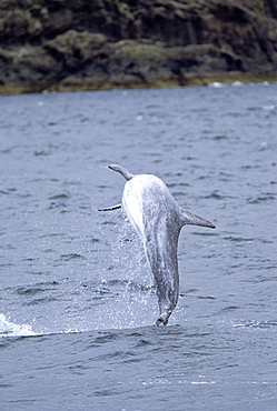 Risso's dolphin (Grampus griseus) showing typical percussive behaviour: repeatedly leaping out of the water to land with a loud splash. Hebrides, Scotland.