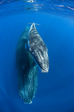 Humpback female and her calf Vava'u Tonga in the South Pacific, shot with a fisheye lens