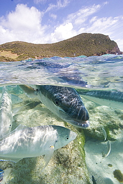 Kingfish coming into the shallows at Neds Beach Lord Howe Island Australia