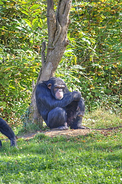 Captive adult Chimpanzees Pan troglodytes verus in La Vallee Des Singes, Poitou - Charentes France. More info: Status, endangered. This rare sub species of chimp came from a breeding centre in Holland.  They were originally rescued from a laboratory when the Netherlands at last made it illegal to experiment on primates.