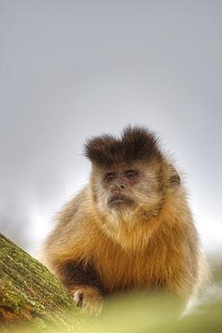 Captive Tufted Capuchin Cebus apella in La Vallee Des Singes, Poitou - Charentes France. More info: Status, least concern.