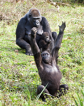 Captive Western gorilla, gorilla gorilla. Female and baby and adolescent in La Vallee Des singes, Poitou - Charentes France. More info: Status, critically endangered due to loss of habitat, hunting and infectious disease.