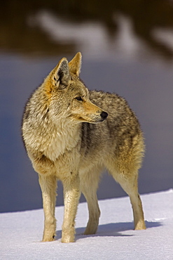 Coyote On Snow, Canis latrans; Coyote; Coyote on snow; Yellowstone National Park; Winter; Wyoming