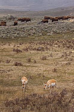 Antelope With Buffalo, Antilocapra americana; Pronhorn; Antelope; Bos bison; American Buffalo; Bison; Yellowstone National Park; Wyoming; Winter