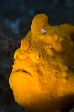 Giant frogfish, Antennarius commersoni.  This large species is not only highly variable in color, matching its surroundings, but is also widespread through the Pacific and Indian oceans.  Lembeh Strait, North Sulawesi, Indonesia, Pacific Ocean.